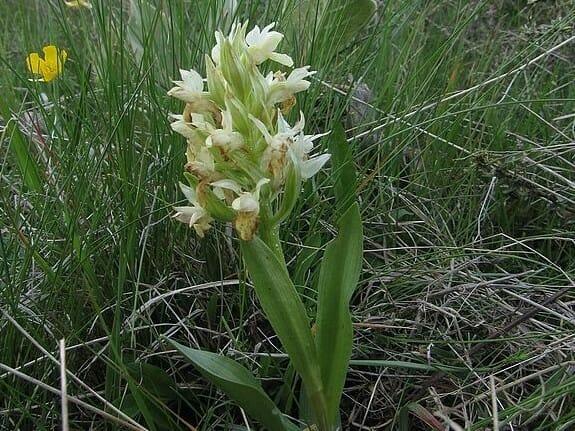 Vstavač bazový, žltý – Dactylorhiza sambucina (L.) Soó