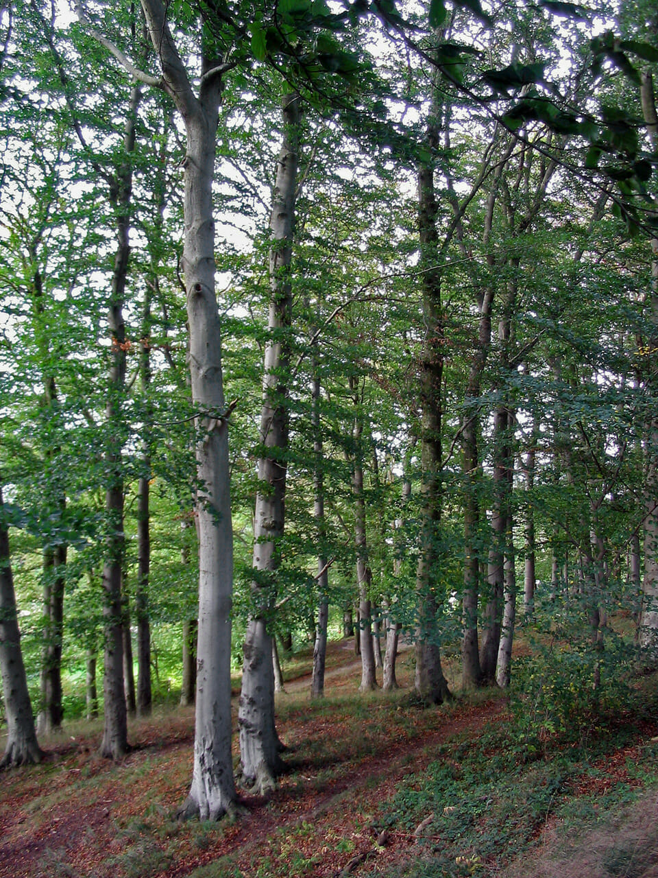 Buk lesný